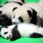Adorable! 23 baby giant #pandas born in 2016 make their debut in #Chinas #Chengdu on Thursday https://t.co/jse2p30b7S