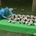 四川省成都のパンダ基地にて 今年生まれた23頭のジャイアントパンダを初披露 https://t.co/ePYsf6J08S パンダ余ってます https://t.co/Y3kDyUiwFG
