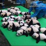 仔パンダ虫干し 成都で生まれた仔パンダ大集合 キレイに並べる飼育員ww https://t.co/fOOQEForVN