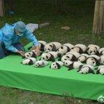 頑張って並べるけどどんどん溶けてくパンダに苦戦する飼育員さんかわいい pic.twitter.com…