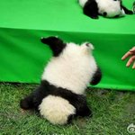 今年産まれたパンダかわえええええって頭から落ちてるううううう!!!!! https://t.co/kzL8Tzdtg8 https://t.co/tTShsk4iEE