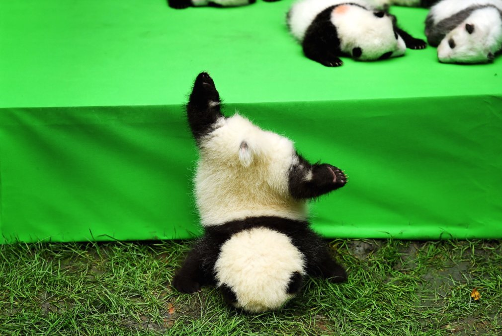 Oof! This adorable panda cub face planted after falling from a stage https://t.co/La0ie8RGTV https://t.co/NF0YHxAJLq