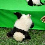 @bbsamchong そして........やはり 仔パンダ落ちる!  慌てる飼育員ww pic.…