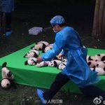 @bbsamchong そして........ やはり 仔パンダ落ちる!  慌てる飼育員ww https://t.co/K136c7VZ3j
