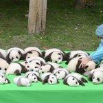 か、かわいい… 赤ちゃんパンダお披露目 中国、繁殖基地で23頭 https://t.co/HrMS6QFG0h https://t.co/4Hr1fuiumA