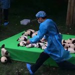 "23 baby pandas born in 2016 make debut in China. One uses ""faceplant"", its super effective! https://t.co/2R6WhywcG3 https://t.co/OQtMXSarlH"