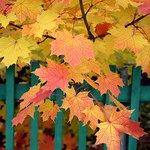 Осенний этюд с кленовыми листьями https://t.co/cM1duGWwWC https://t.co/HMfxSjFZkP