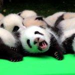 赤ちゃんパンダお披露目、中国の繁殖基地で23頭 https://t.co/4dRr9izwgN https://t.co/QylAfkvhIc
