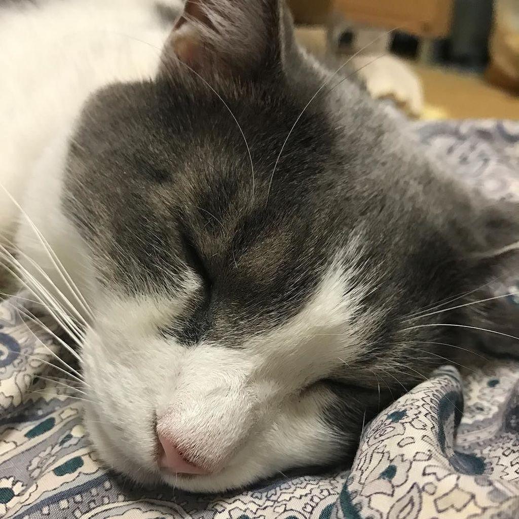 そわか君、寝た☆ #sowaka #cat #neko #ねこ #ネコ #猫 https://t.co/NSN7T8yiqV https://t.co/KUVXNP4ZyV
