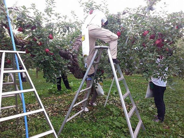 弘前のリンゴ農園で「ふらいんぐうぃっち」ファンが摘花や収穫体験