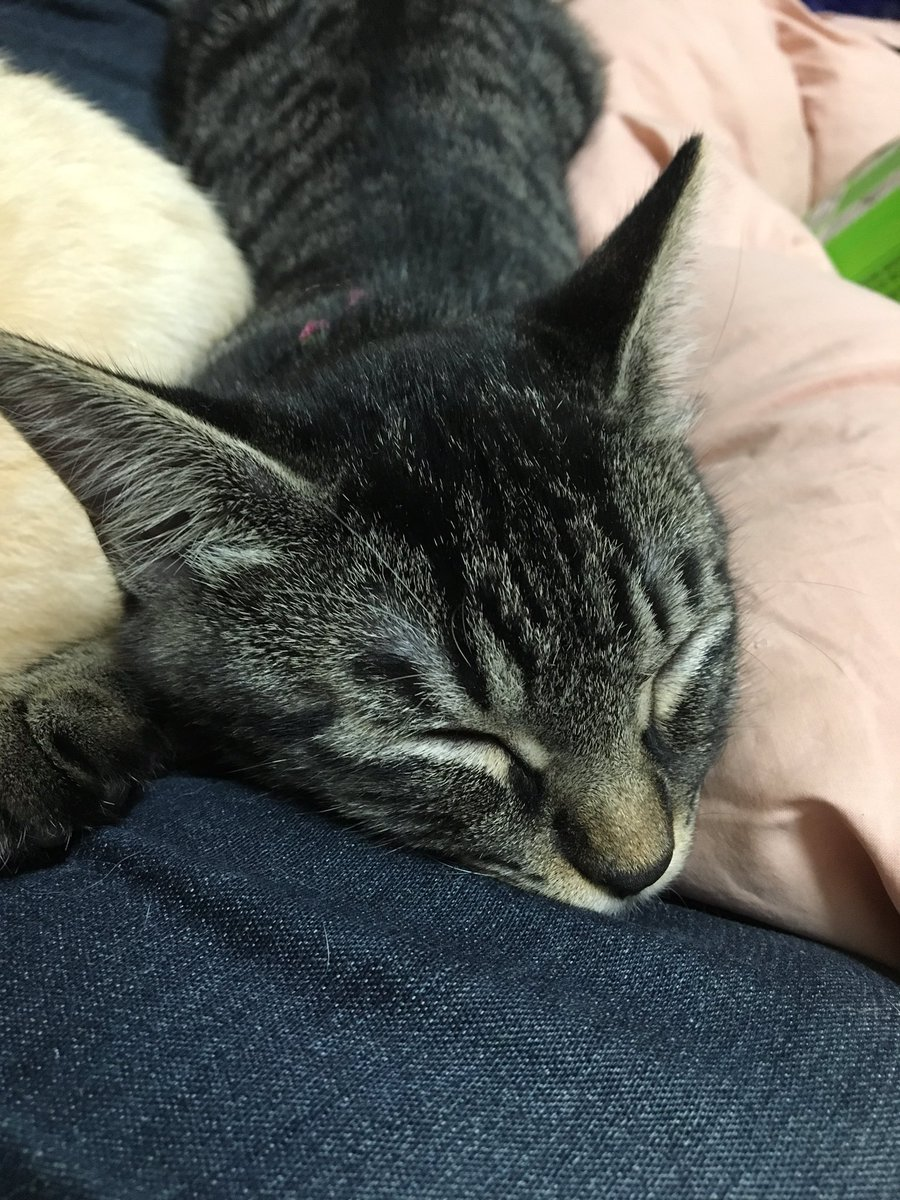 今日もうちのシマシマ(仮)は里親が見つかりませんでした。フォロワーさんで猫と暮らしたい方、いらっしゃらないかしら。ワクチン2回済んでます。雌の子猫ですが、大暴れするおてんば姫です。 https://t.co/inqxxjWNA1