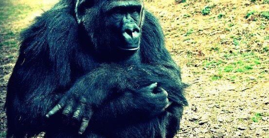 OKC Zoo gorilla throws the 'Horns down https://t.co/PixR4hXM25 #Sooners #Longhorns (via @TaratoaTea) https://t.co/BeHBaoDOXb