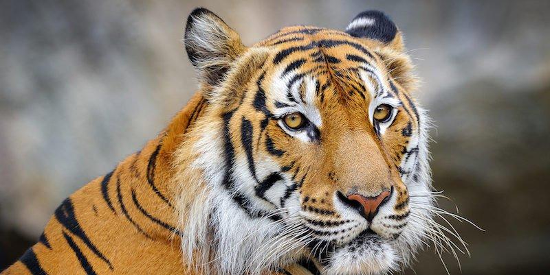 Tony the Tiger In Louisiana Proves We Need Stricter Animal Welfare Laws https://t.co/XldXivhjoV https://t.co/OtFW7gw7q6