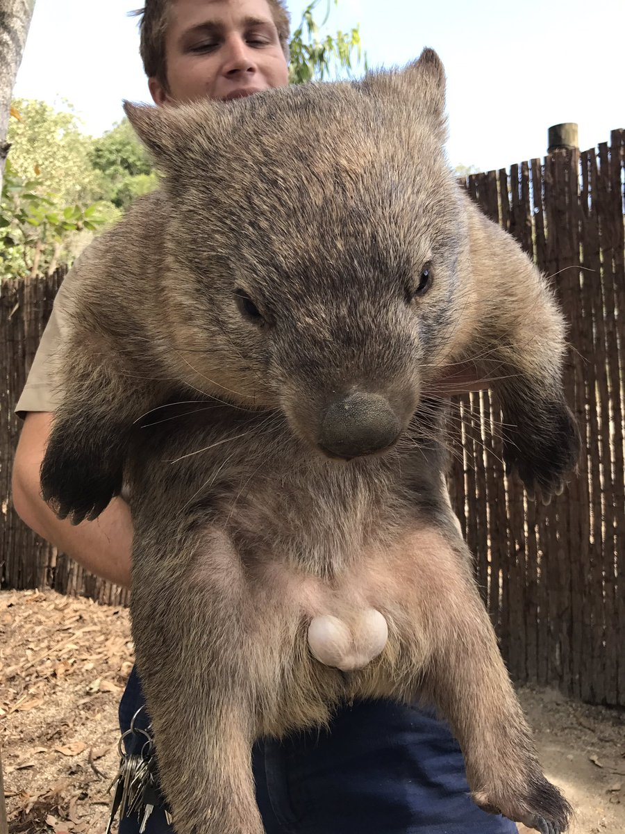 ケアンズ初日、動物園内ツアーにてバックヤードでついにウォンバットにタッチ!玉の存在感ハンパないけどほんとにかわいい! https://t.co/ksCjCXs75B