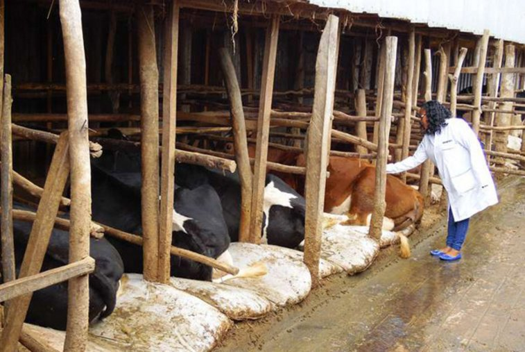 Here's formula to get more milk from cows