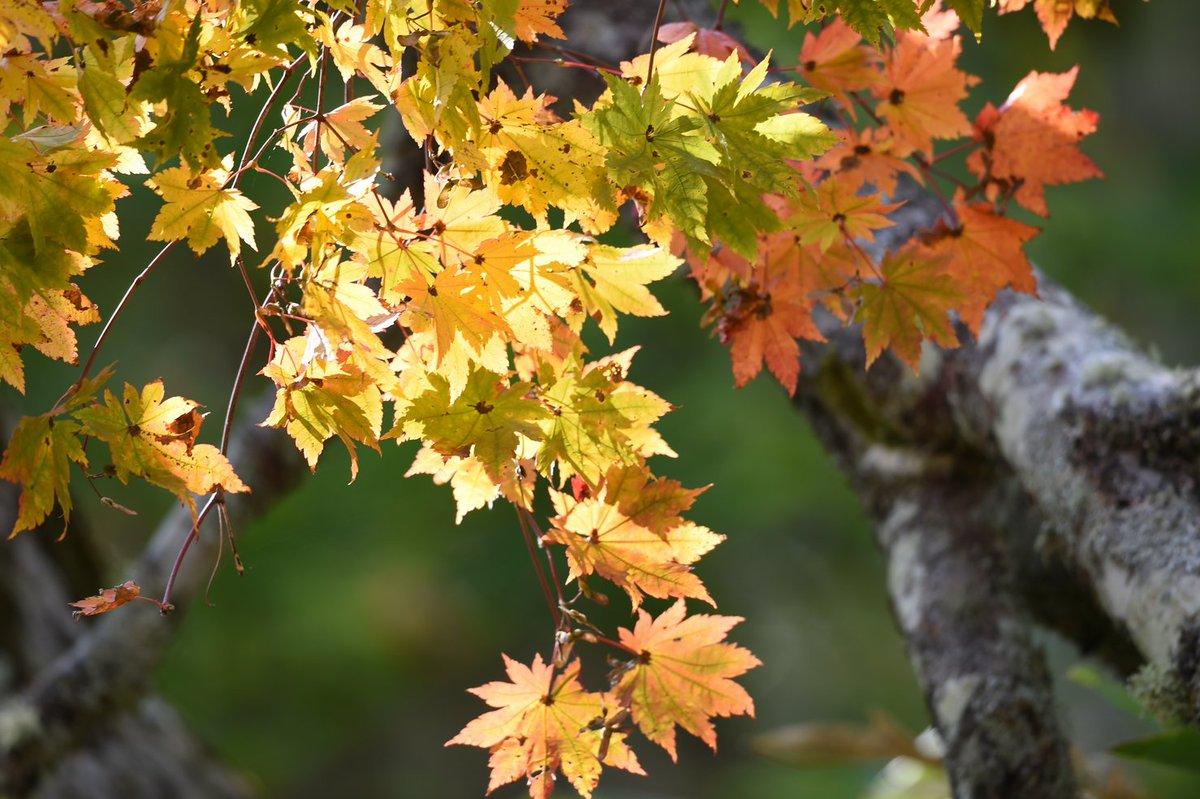 """""""精霊の守り人""""ならぬ""""カムイの守り人""""を自負してきたが。。。今は""""森人""""としての5日目を過ごしている。。木の葉のステン"""