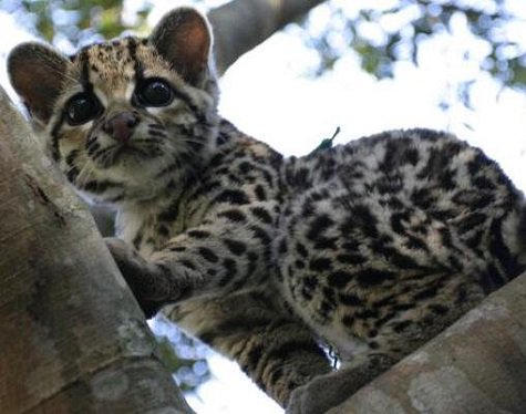 This election is such a downer. So, here's a baby ocelot thinking about jumping on your head. https://t.co/j7Qi5klCaP