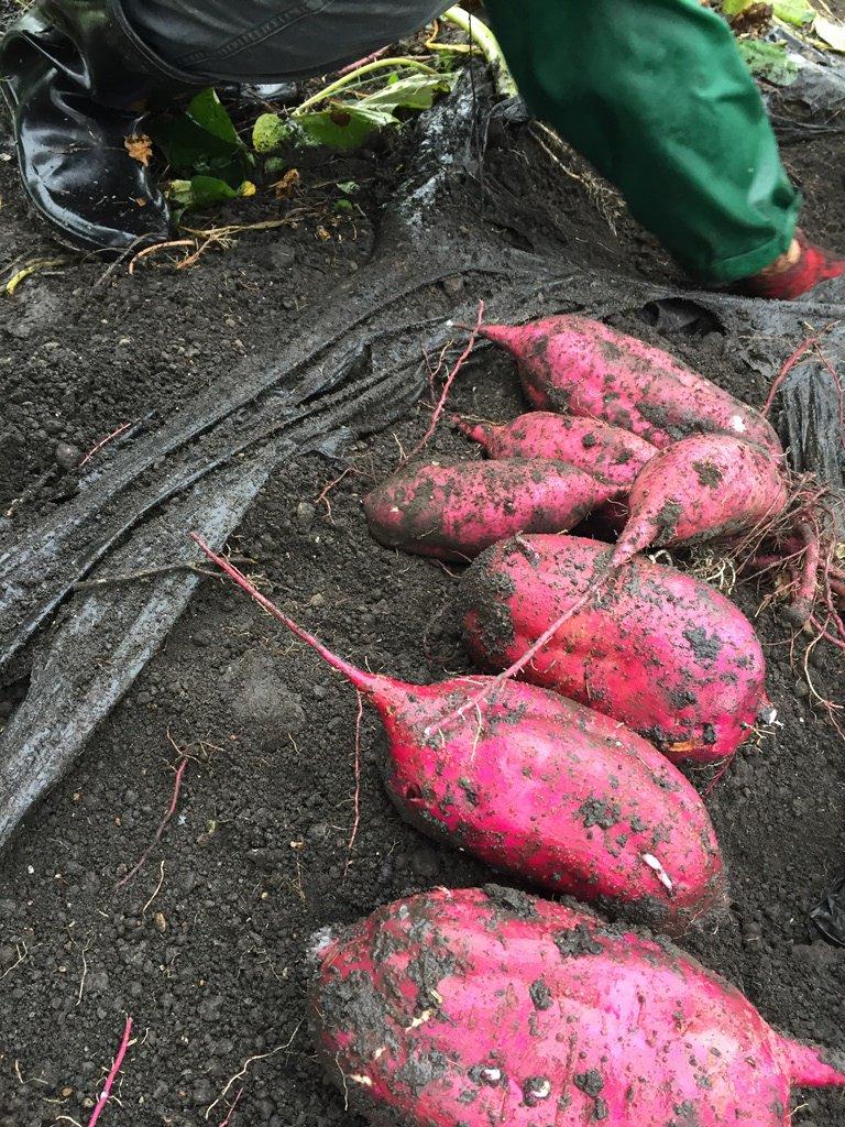 見てください、たくさん掘れました!『紅はるか』という品種だそうです。(桂)美しい紫色だ。新選な芋はもはや芸術と言えよう。