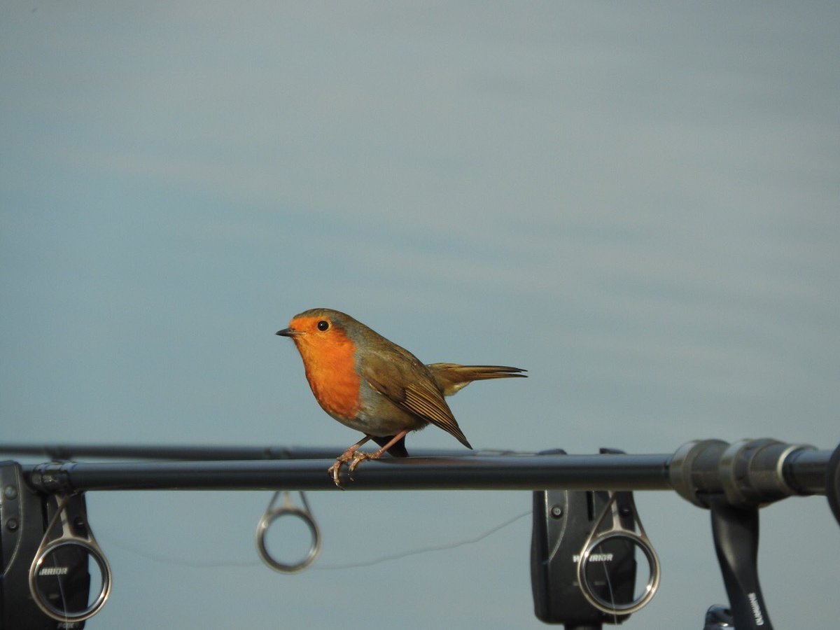 Little visitor on the bank #carpfishing #fishing #<b>Bird</b> #robin #nature https://t.co/ZxLYeODMJi