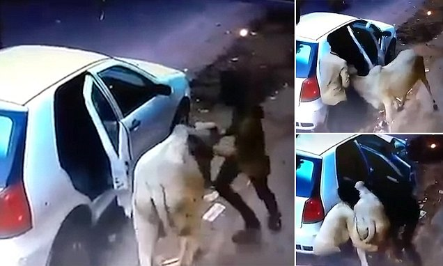 Thieves make off with a cow after shoving it into their HATCHBACK https://t.co/CNAQdF1wf0 https://t.co/d73Bfzxhiw