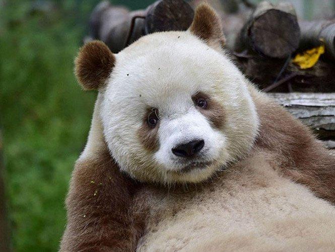 Él es Qizai, el único oso panda café en el mundo. Y es es la sensación en una reserva natural en China. jn https://t.co/f6c6nIyTSx