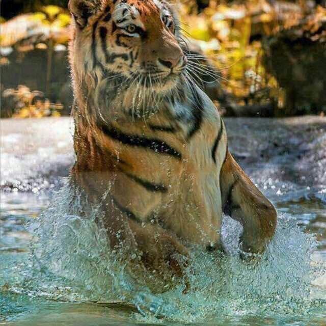 النمور الجايعه