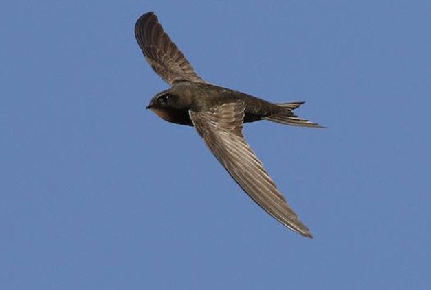 Study finds common swift can fly for nearly ten consecutive months without ever landing https://t.co/e5qlfB8va8 https://t.co/N5jVCk4097