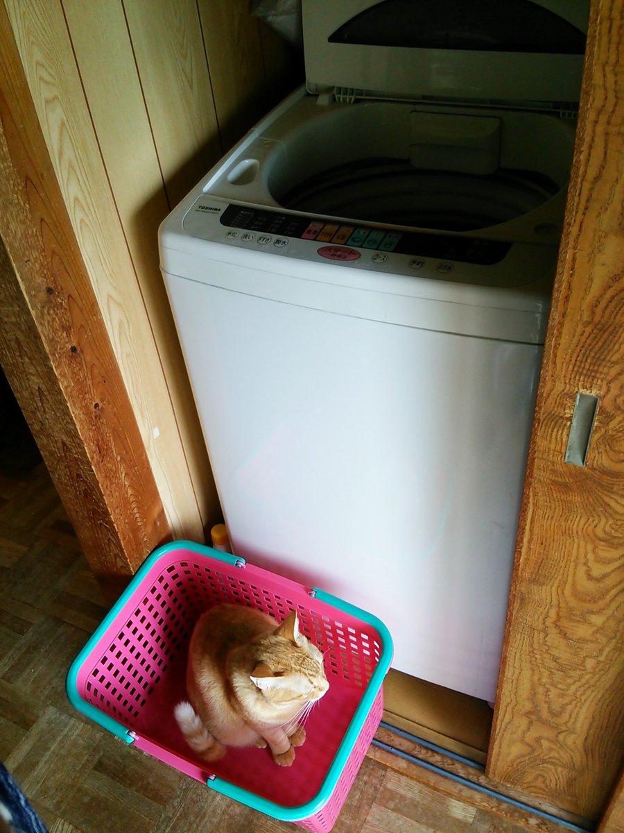 キンモクセイの香る朝、おはようございます。ニャル子さん、カゴ置いた瞬間に入った…洗濯物が入れられません(;´Д`)のいて