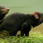 Tasmanian devils' milk could fight superbugs: Australia scientists