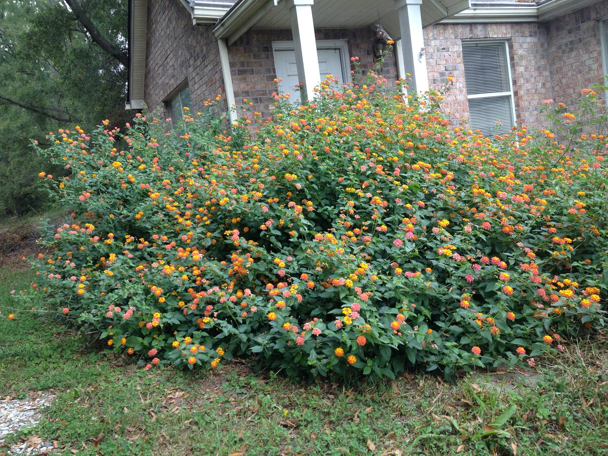 Experts Differ On When To Prune Miss Huff Lantana Scoopnest