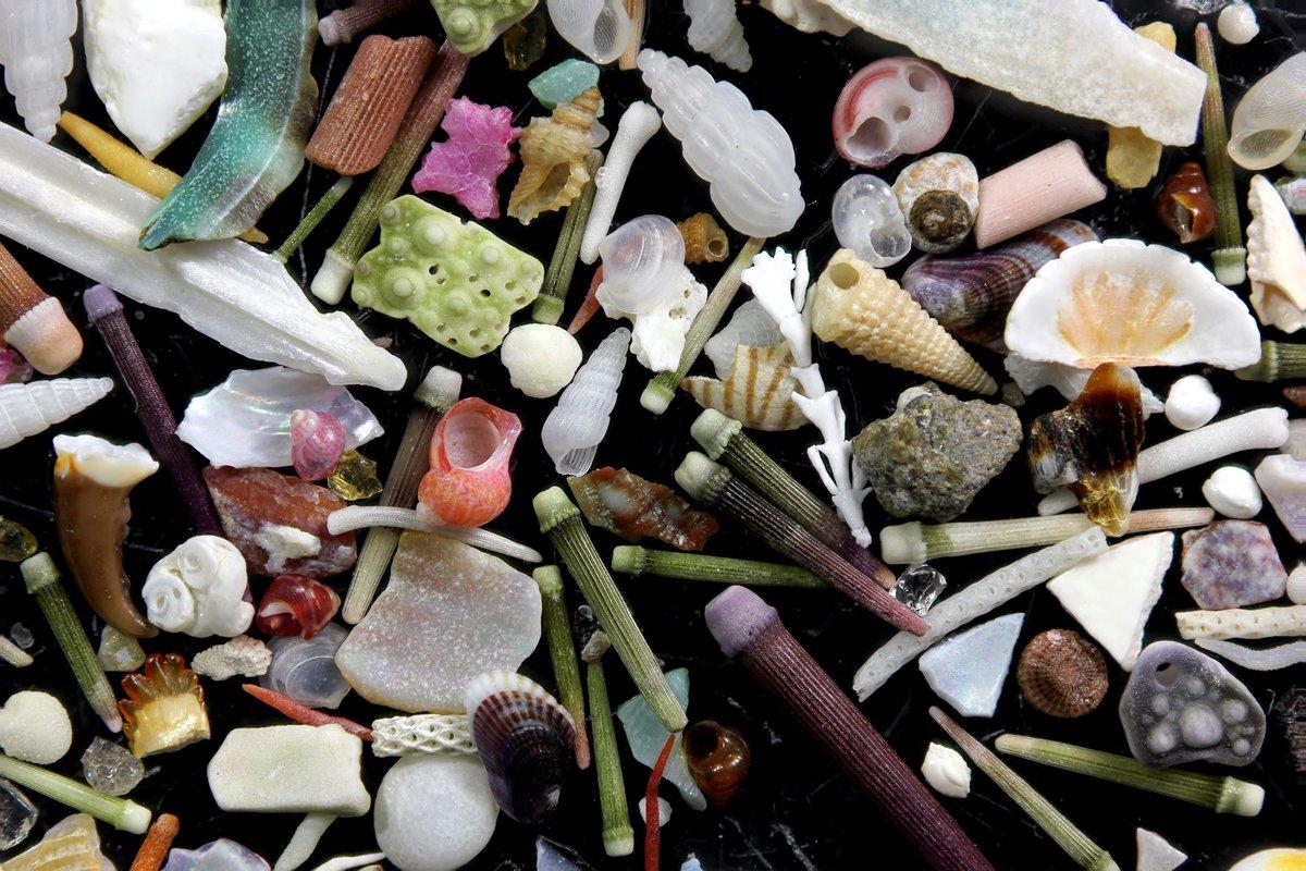 相模湾西部での採集品。岩の隙間にたまった砂を一山持って帰って、実体顕微鏡で拾い上げたもの。画像横幅約15mm