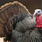 How to Have a Turkey at Thanksgiving and Still Be Vegetarian