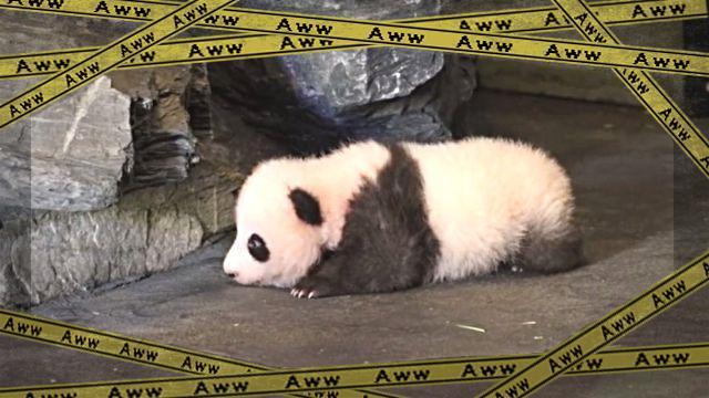 よっこらしょ。パンダの赤ちゃん、感動の「はじめの一歩」