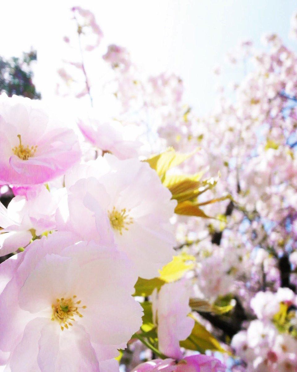 口笛を吹いていたら、季節はずれの桜が咲いたよ