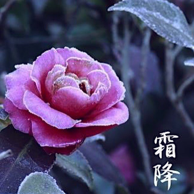 本日10月23日は 霜降(そうこう)。二十四節気のひとつです。 「霜が降りるころ」という意味で、露が冷気によって霜となり、朝には草木が白くなる頃とされています。朝夕冷えてまいりますので、ご自愛ください。  #晴明神社 #京都 #霜降 #二十四節気
