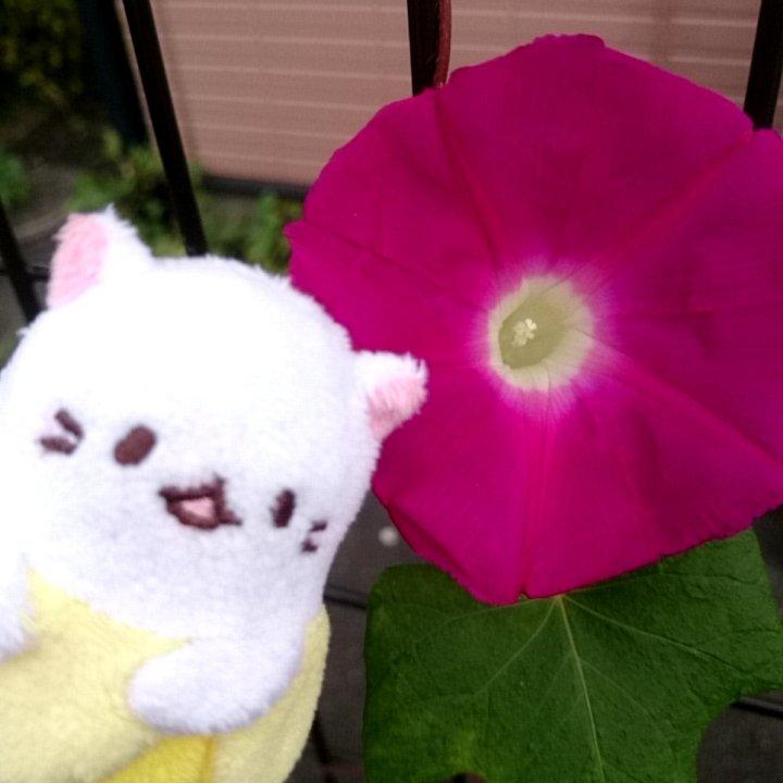 きれいな朝顔のお花、ばなにゃの顔より大きいね! #ばなにゃフォト