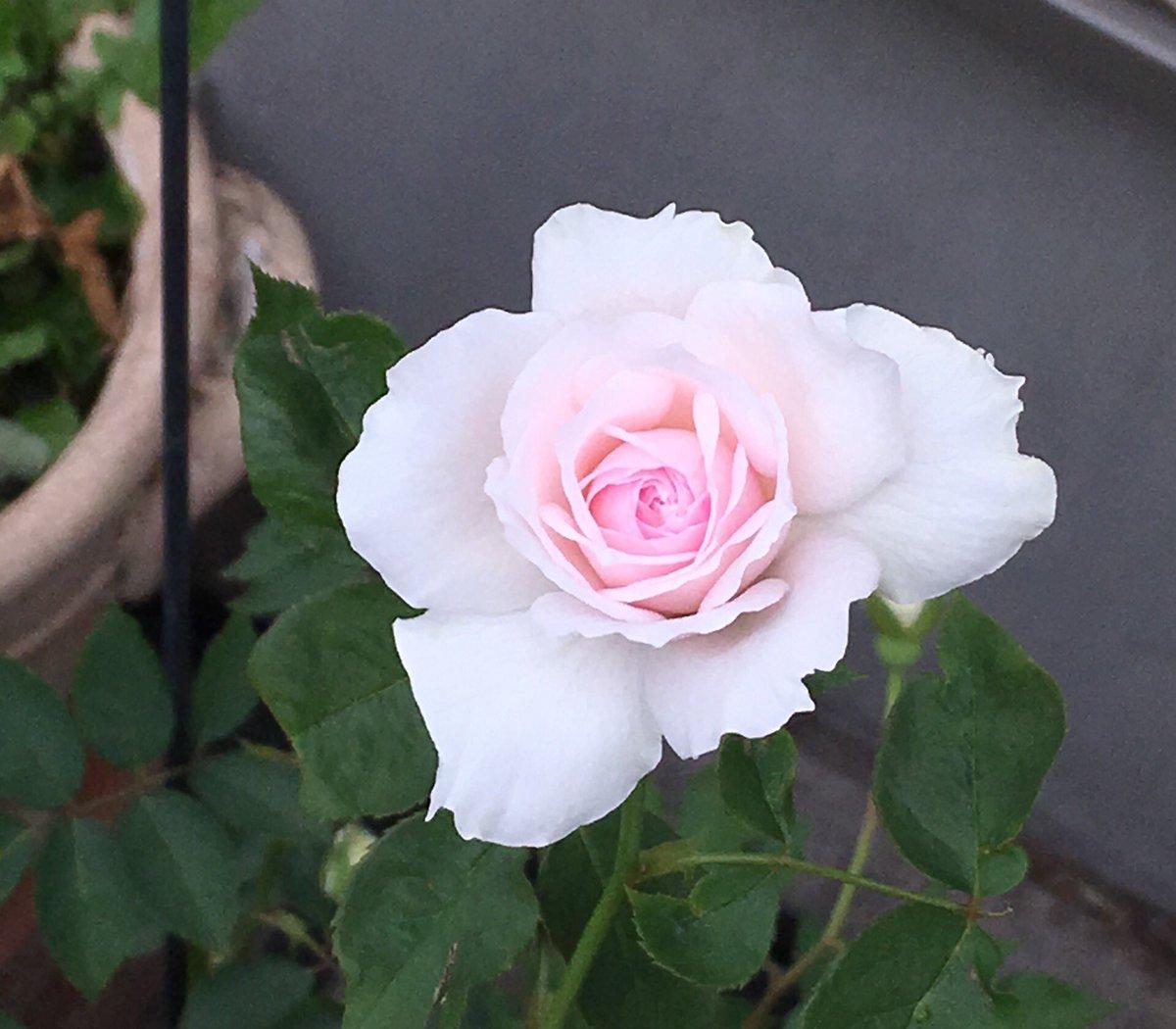 エゥディリーチェが咲きました♪優しい色です。オルフェオとのオペラは、まだ観たことないけど、ギリシャ神話のお話は有名ですね
