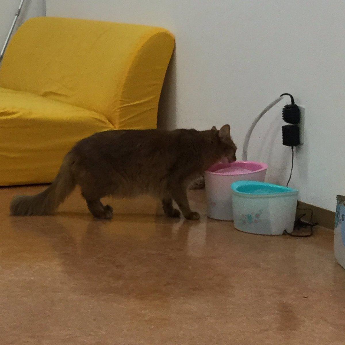 入室30分ですでに4回猫部屋から脱走しているきなこ氏。相棒のハヤテがいなくて寂しいのか?#トモカフェ