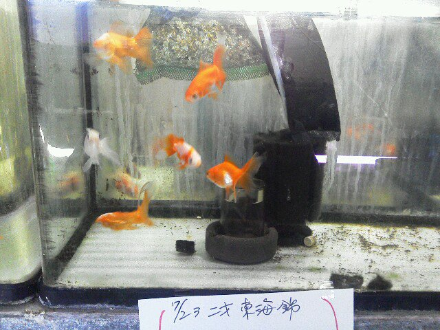 #金魚 #東海錦#国産金魚次回予告!10.26 ミックス金魚 10.29 吉岡産どんぶり向き   二歳水泡眼 ピンポンパ