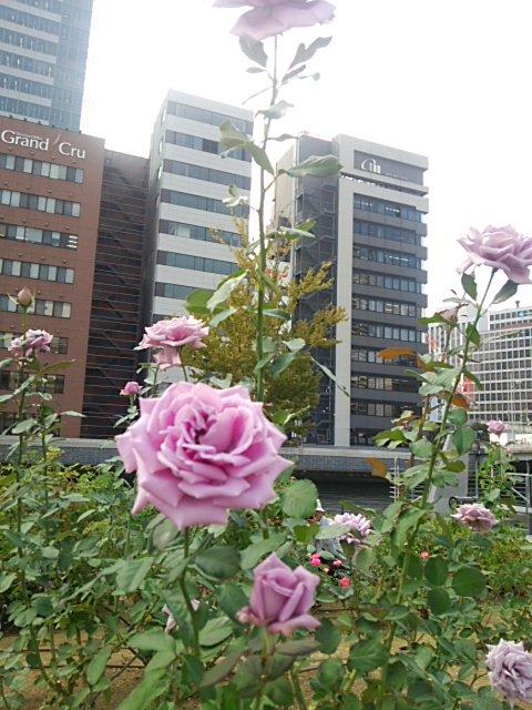 中之島公園のバラ園をお散歩☆ガラスの仮面を思い出す、紫の薔薇♡日本の品種で藤娘だったはず…お天気も良くて、気持ち良い(*