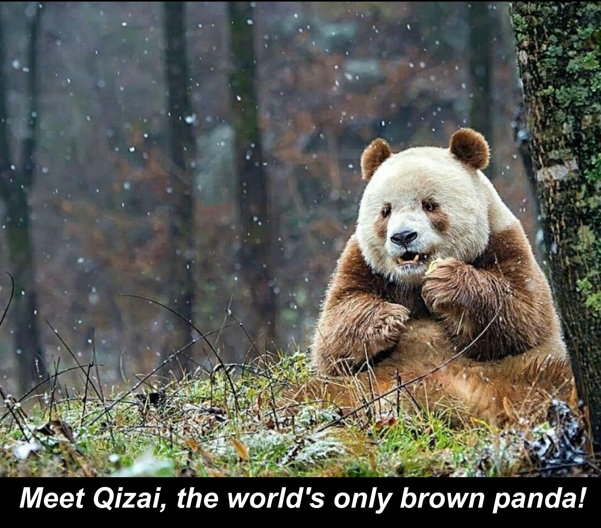 The only brown Panda: https://t.co/B6IBxkPX6N