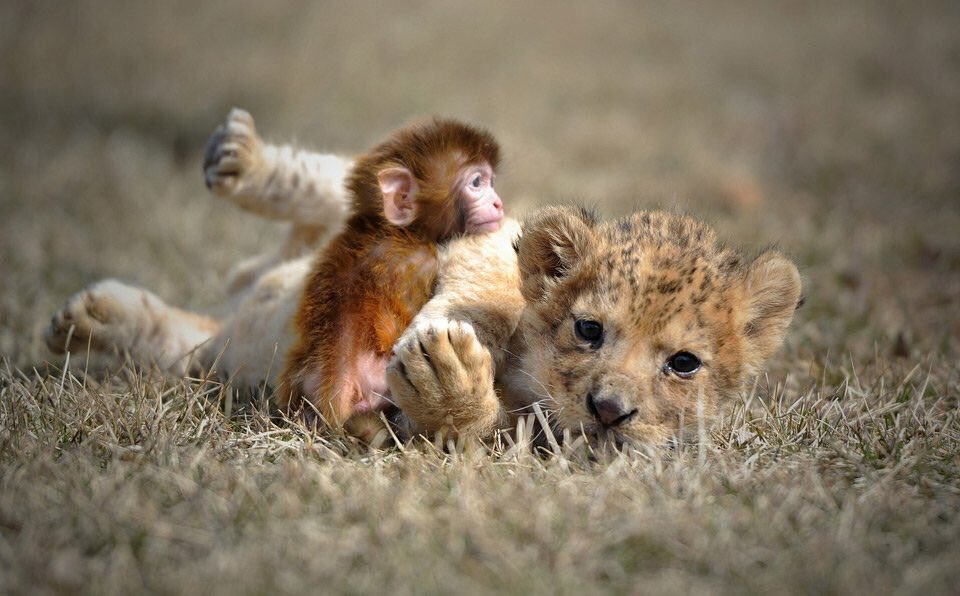 Baby Lion And A Baby Monkey Snuggle | Photography by ©Yao Jianfeng https://t.co/tdPuNOHLhp https://t.co/qaWNnBRUvK