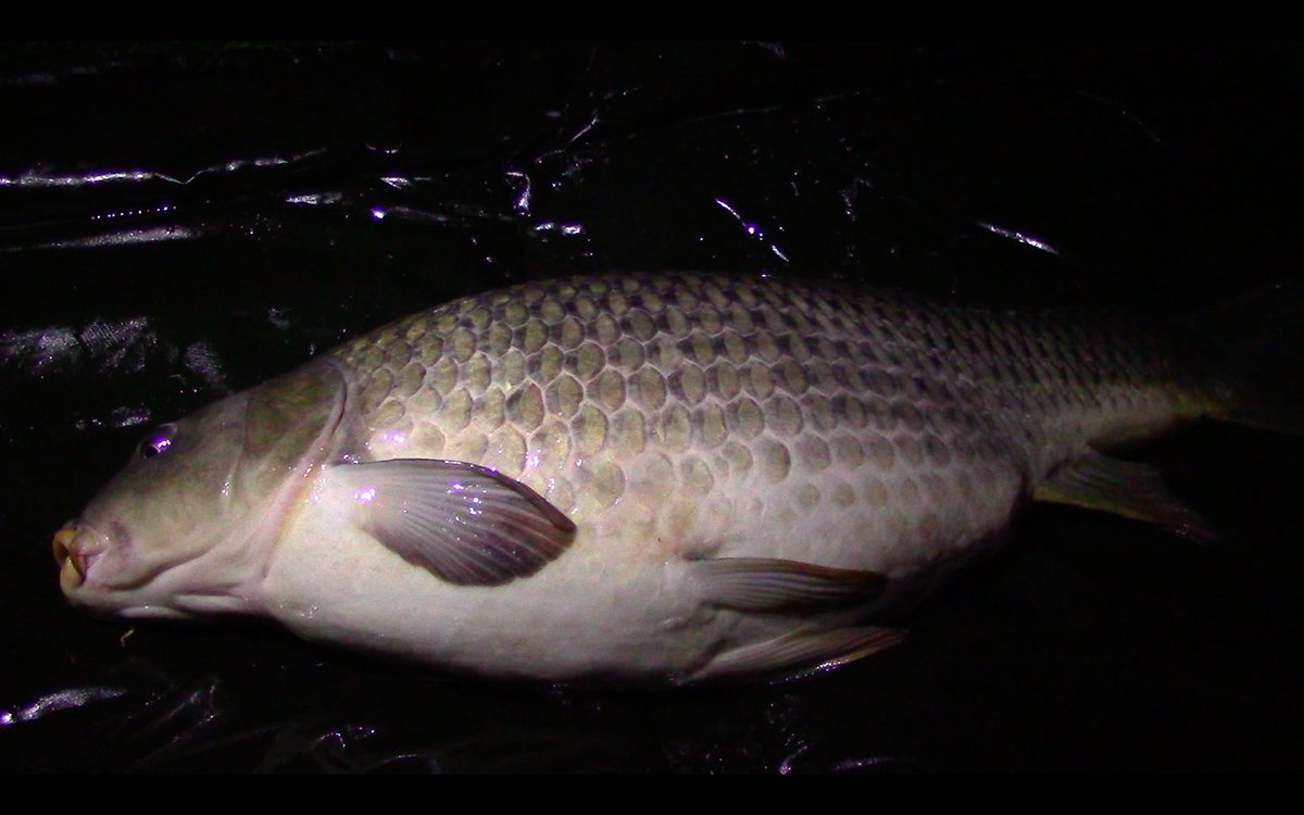 Common carp from earlier this year. #carp #fishing #carpfishing #autumn #video https://t.co/Bgqr2zqr
