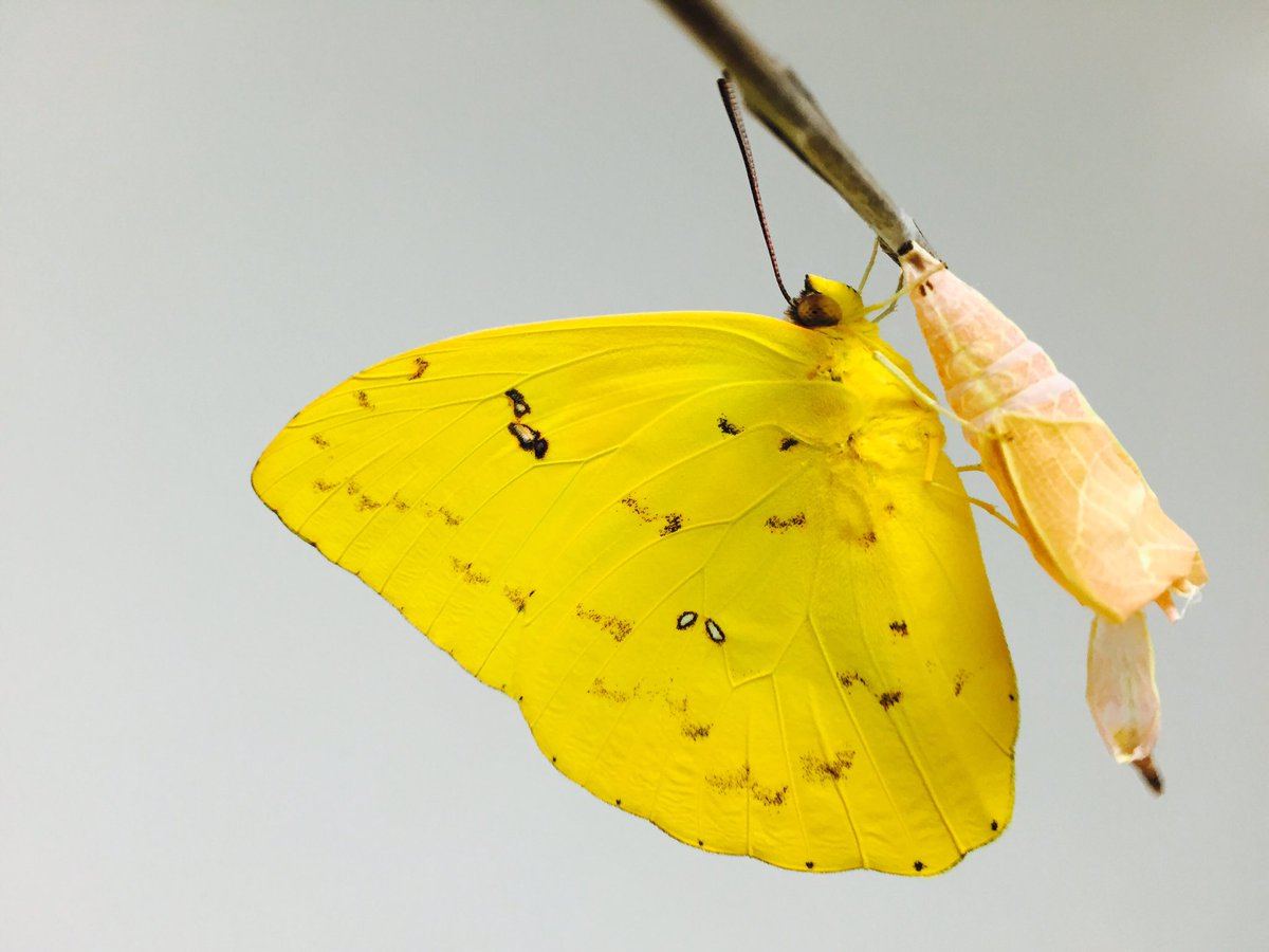 We interrupt your election to bring you a yellow butterfly of peace and hope. https://t.co/RVbcdKeYsa