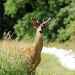 Clinton County deer may have chronic wasting disease