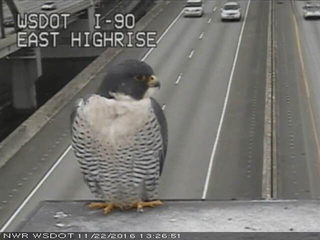 Caught this little guy guarding the I-90 floating bridge... What do you think we should name it? https://t.co/bKYyGy2lck