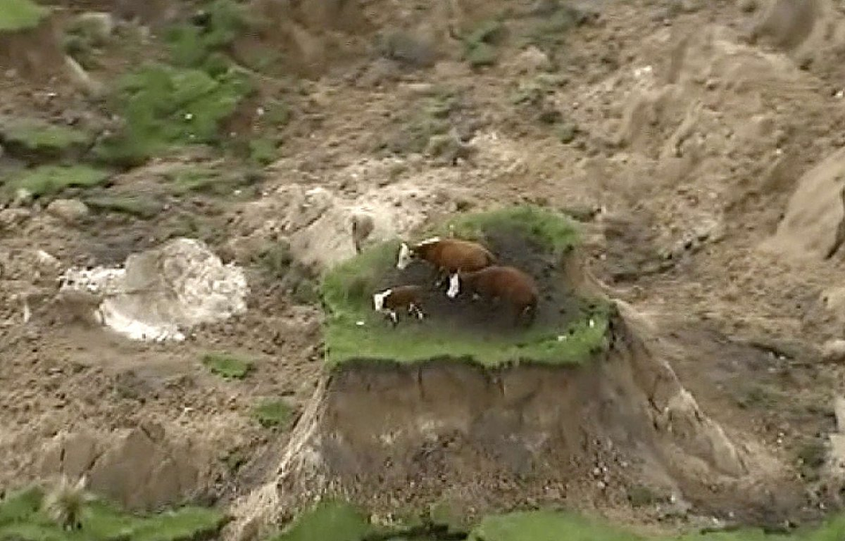 3 cows stranded on patch of land after powerful New Zealand earthquake