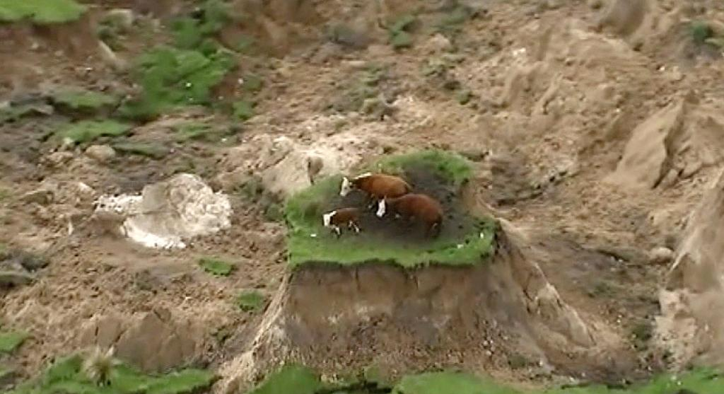 Cows stranded on island of grass after New Zealand earthquake rescued