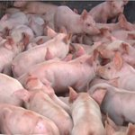 200 pigs escape after truck crash, authorities say