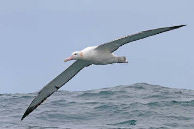 An albatross can fly over 600 miles without flapping it's wings. https://t.co/PZbaXh2B2K